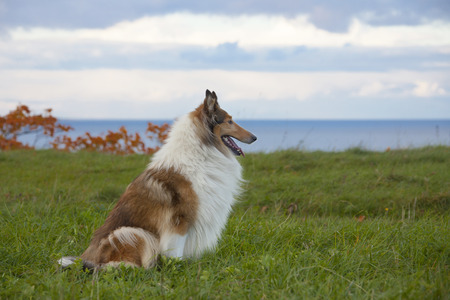 scottish collie: Rough Collie or Scottish Collie over nature background