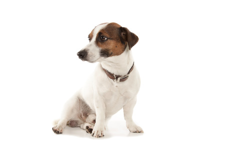 schutz: Jack Russell terrier isolatad over white background