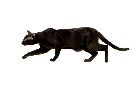 oriental white cat: black oriental cat isolated over white background Stock Photo