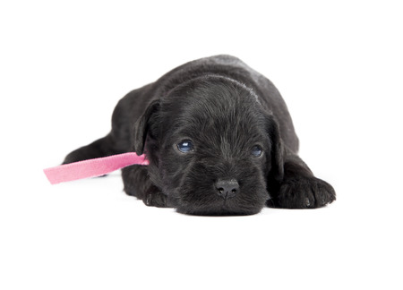 schutz: Miniature Schnauzer black puppy isolatad over white background