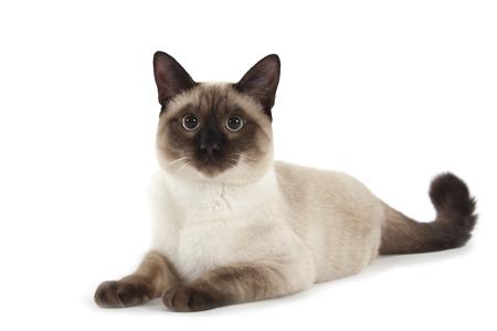 catlike: Siamese cat isolated over white background