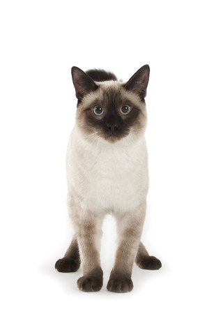 Siamese cat isolated over white background photo