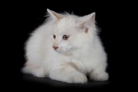 Kurilian Bobtail kitten isolated over black background photo
