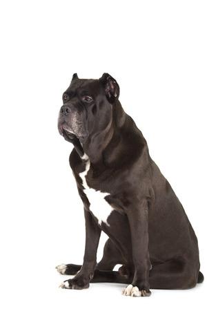 cane corso: Cane Corso cane nero isolato su sfondo bianco Archivio Fotografico