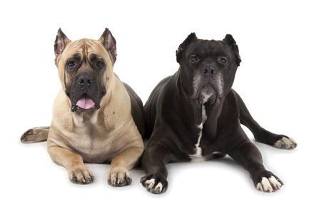 cane corso: Cane Corso dogs isolated over white background Stock Photo