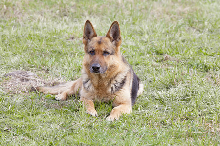 German Shepherd laying on the green grass photo