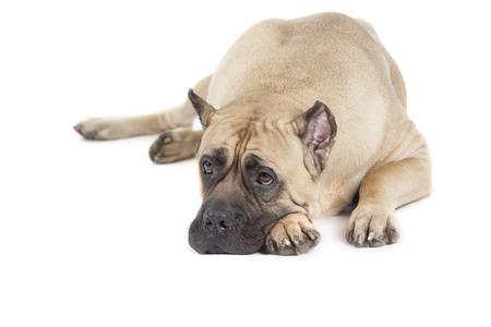 cane corso: Cane Corso dog isolated over white background