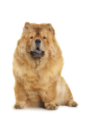 fluffy chow-chow dog isolated over white background photo