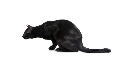 black oriental cat isolated over white background photo