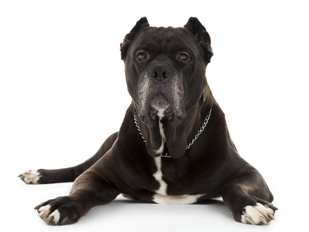 cane corso: Cane Corso black dog isolated over white background Stock Photo