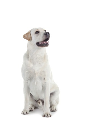 Golden Retriever isolated over white background photo