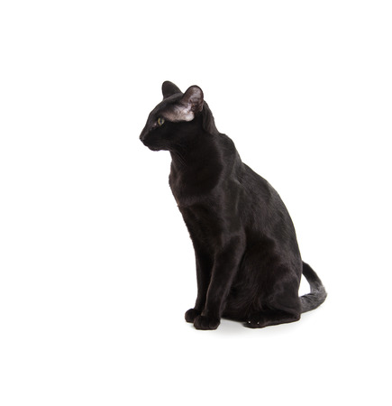 Beautiful black oriental cat isolated over black background photo