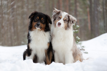 australian shepherd: Australian Shepherds over winter forest background Stock Photo