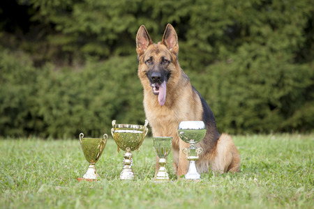 german sheepdog with cups sitting on grass photo