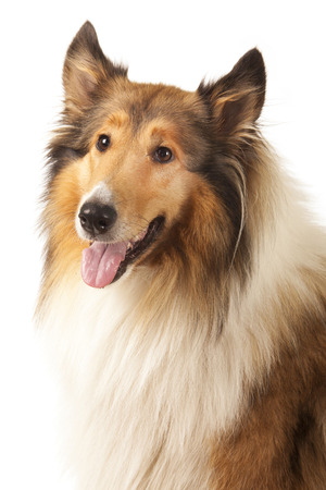 scottish collie: Rough Collie or Scottish Collie is isolated on white background Stock Photo