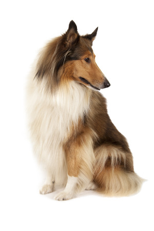 longhaired: Rough Collie or Scottish Collie isolated over white background
