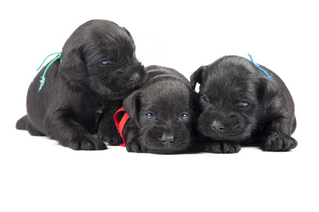three black puppies of Miniature Schnauzer are isolatad over white background photo