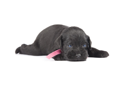 black puppy of Miniature Schnauzer is isolatad over white background photo