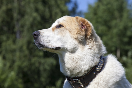 central asia shepherd dog: Central Asian Shepherd Dog portrait on the outside background Stock Photo