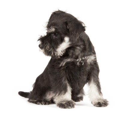 Zwergschnauzer black isolatad over white background photo