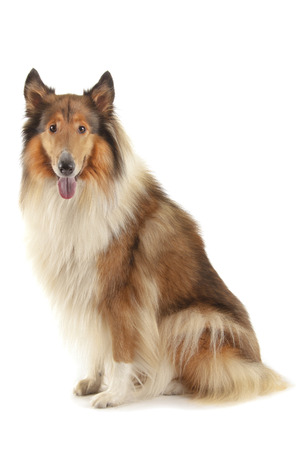 Rough Collie or Scottish Collie isolated over white background photo