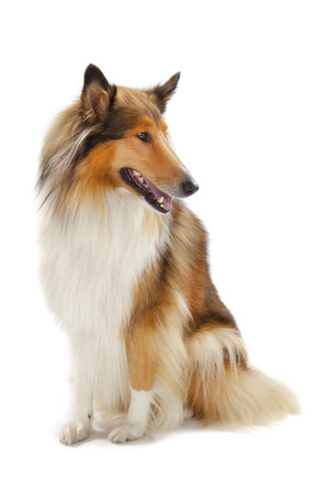scottish collie: Rough Collie or Scottish Collie isolated over white background
