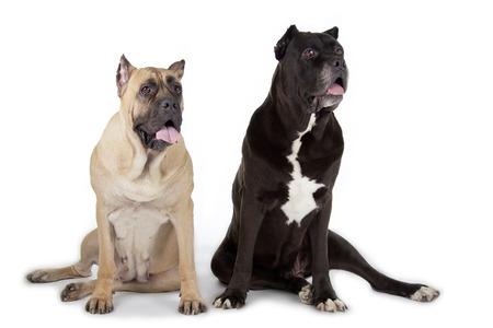 cane corso: Cane Corso cani isolato su sfondo bianco Archivio Fotografico