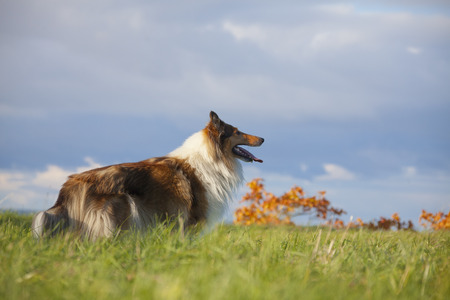Rough Collie or Scottish Collie over nature background photo