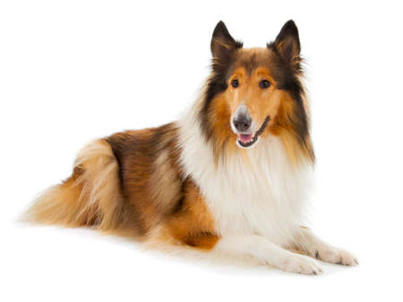 lassie: Rough Collie or Scottish Collie isolated over white background