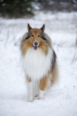 Rough Collie or Scottish Collie over winter nature background