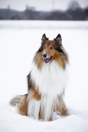 lassie: Rough Collie or Scottish Collie over winter nature background