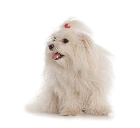 white maltese: White Maltese dog isolated on white background