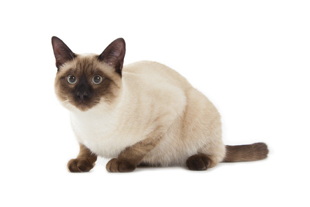 murmur: Siamese cat isolated over white background