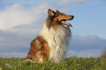lassie: Rough Collie or Scottish Collie over nature background