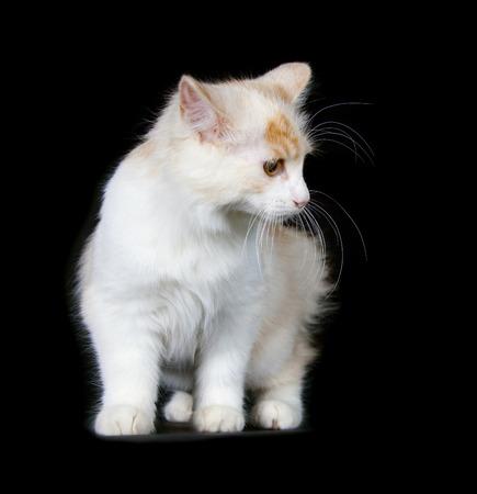 bobtail: Kurilian Bobtail kitten isolated over black background