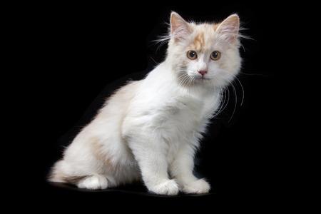 kurilian bobtail: Kurilian Bobtail kitten isolated over black background