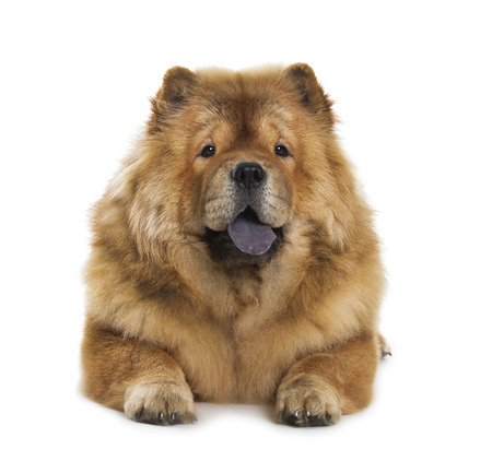 fluffy: fluffy chow-chow dog isolated over white background