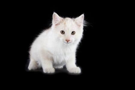 angry Kurilian Bobtail kitten isolated over black background photo