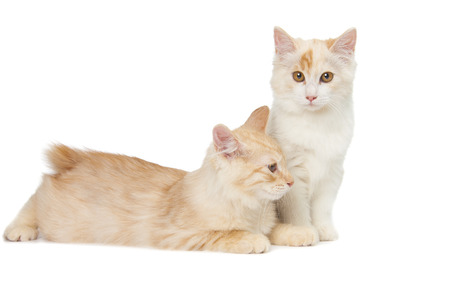 bobtail: two Kurilian Bobtail cats are isolated on white background