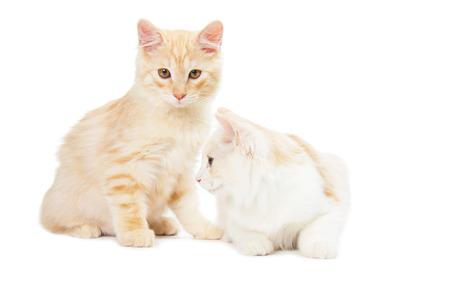kurilian bobtail: two Kurilian Bobtail cats are isolated on white background