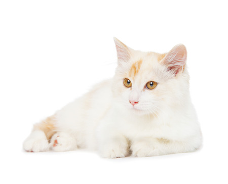 kurilian bobtail: Kurilian Bobtail cat is isolated on white background