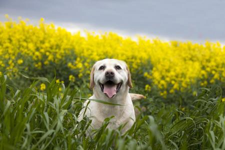saliva: labrador retriever dog on the nature