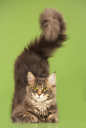 maine cat: young Maine Coon cat on green background Stock Photo