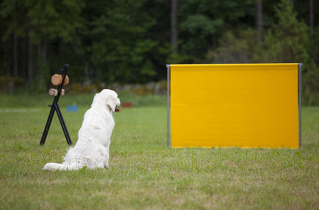 get ready: labrador dog get ready for jump