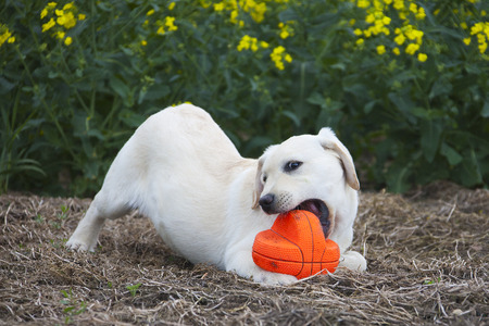 saliva: labrador puppy playing with red ball