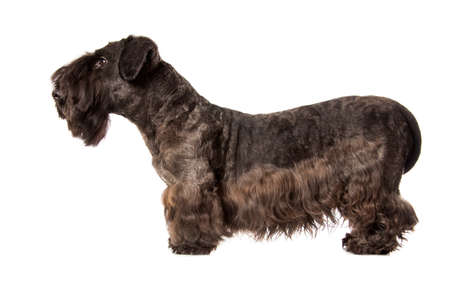 schutz: Cesky Terrier black dog isolatad over white background Stock Photo