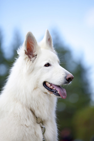 german shepard: White Swiss Sheepdog is sitting on nature background Stock Photo