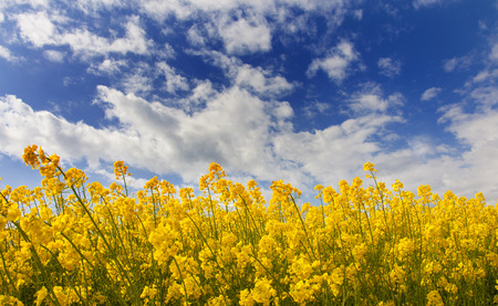 rapaseed: field of rapeseed with cloud