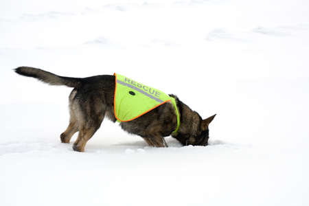 rescue sheepdog searching on white snow background