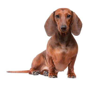 short haired Dachshund Dog isolated over white background Stock Photo